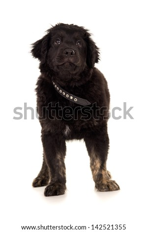 young black labrador puppy is - stock photo