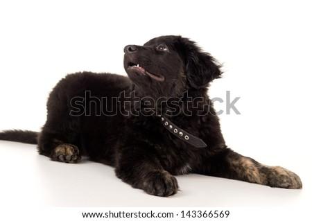 young black labrador puppy lying - stock photo