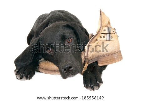 Young black labrador retriever lying on a shoe, isolated on white - stock photo