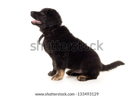 young black labrador sitting