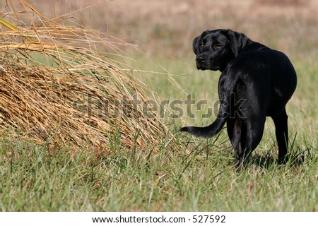Young Black Labrador turning and looking backward in field - stock photo