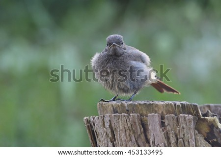 Young Black Redstart after a birth bath - stock photo