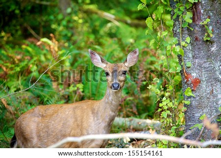 Young black tail dear in forest of British Columbia Canada