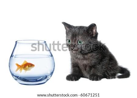 young black watching in aquarium fish cat - stock photo