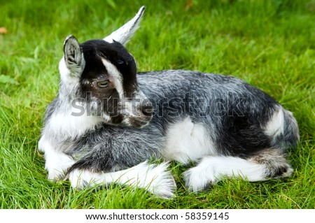 Young black white goatling lying on green grass at summer pasture
