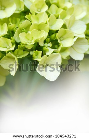 Young blossom of green hydrangea with copy space at the bottom - stock photo