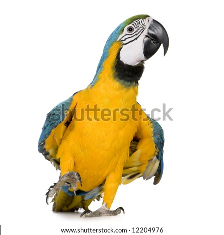 Young Blue-and-yellow Macaw - Ara ararauna (8 months) in front of a white background - stock photo
