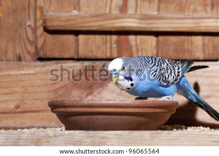 Young blue budgie in aviary