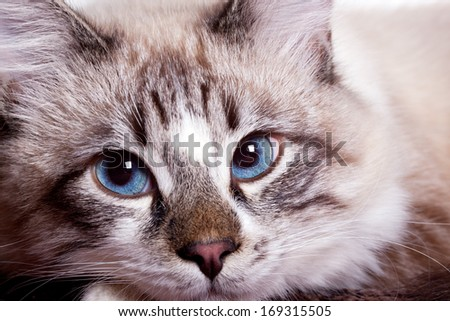 young blue-eyed cat close up - stock photo