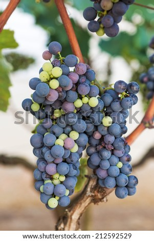 Young blue grapes in the home vineyard - stock photo