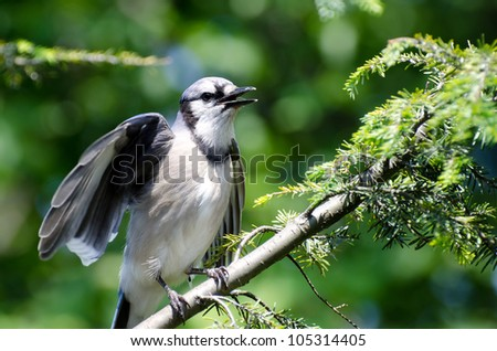 Young Blue Jay Calling Out To be Fed - stock photo