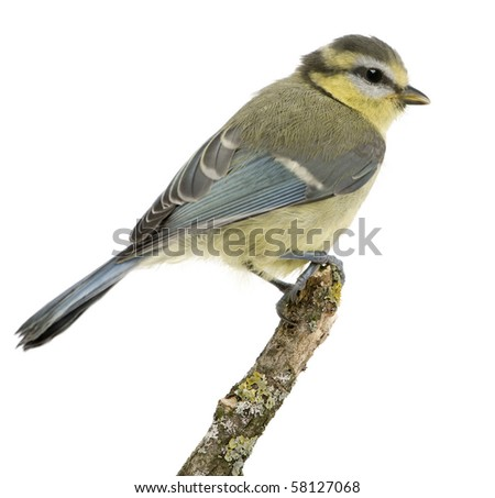 Young Blue Tit, Cyanistes caeruleus, 45 days old, perched in tree in front of white background - stock photo