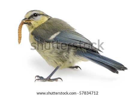 Young Blue Tit, Cyanistes caeruleus, eating worm in front of white background - stock photo