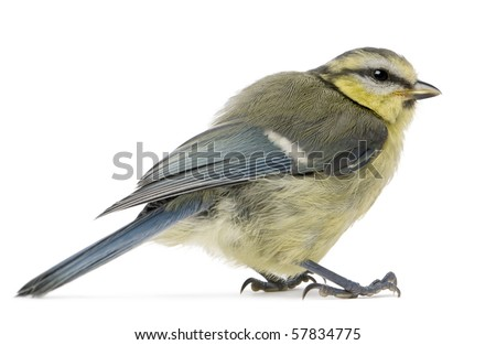 Young Blue Tit, Cyanistes caeruleus, in front of white background - stock photo