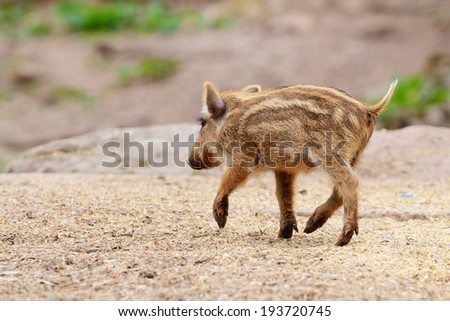 young boar runs - stock photo
