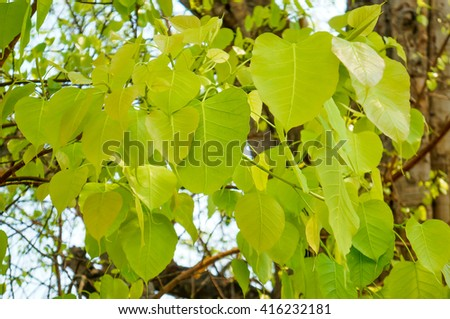 Young bodhi leaves translucent under sunlight. - stock photo