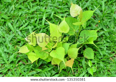 Young Bodhi Tree growing on field - stock photo
