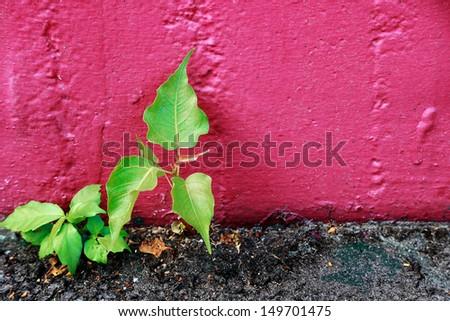 Young Bodhi Tree growing on wall - stock photo