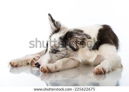 Young border collie dog isolated on white
