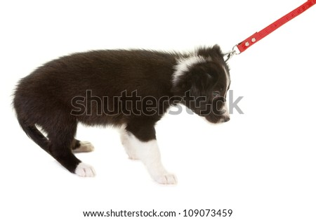 Young border collie puppy first time on a leash - stock photo