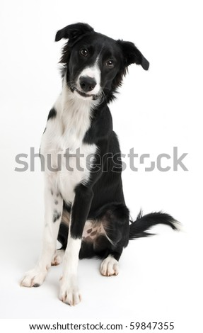 Young border collie sitting on white background close up - stock photo