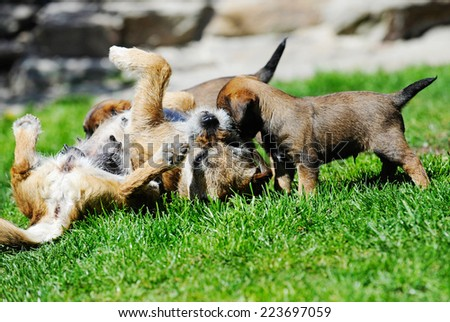 Young Border Terrier puppy is playing with its mother. The adult dog is teaching her offspring gently. The dogs playing together in the backyard on a sunny day in summer. The puppy is 5 weeks of age. - stock photo
