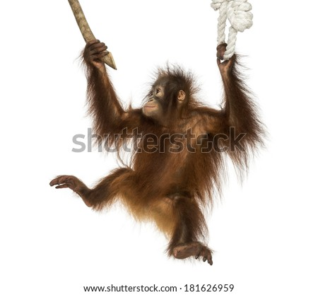 Young Bornean orangutan hanging on to a branch and rope, Pongo pygmaeus, 18 months old, isolated on white - stock photo