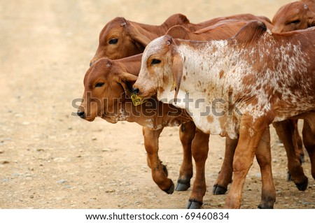 young brahman cattle - stock photo