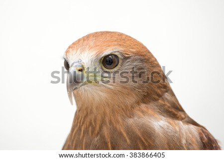 young Brahminy kite or Red-backed sea-eagle head shot