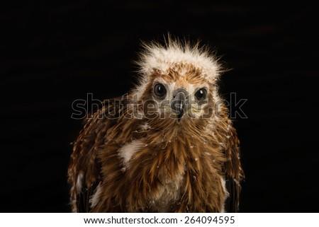 Young Brahminy Kite , Red-backed Sea-eagle - stock photo