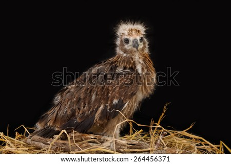 Young Brahminy Kite , Red-backed Sea-eagle in the nest - stock photo