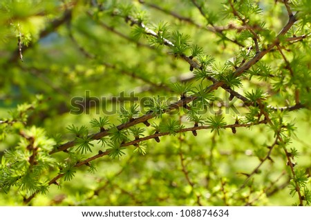 Young branch in spring from European Larch (Larix decidua). Nice fresh colors.