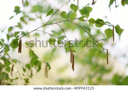 young branch of birch with buds and leaves - stock photo