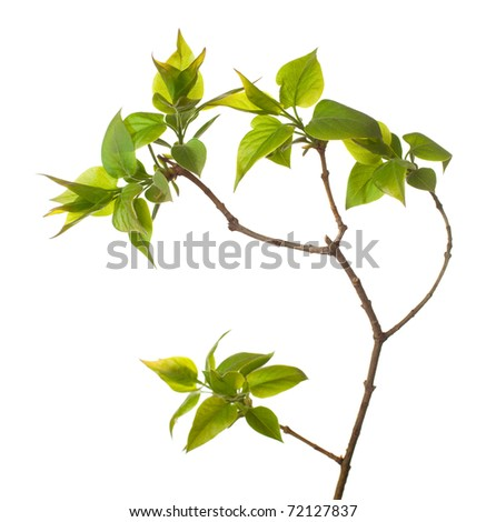 Young branch of  lilac isolated on white - stock photo