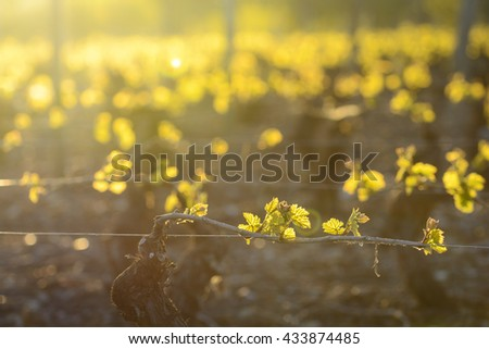 Young branch with sunlights in vineyards - stock photo