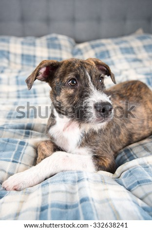 Young Brindle Terrier Mix Puppy Laying on Blue Plaid Plush Blanket - stock photo