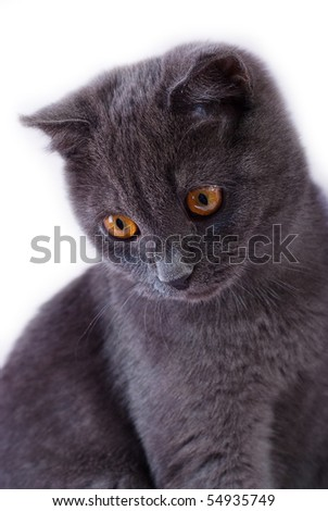 Young British blue cat - stock photo