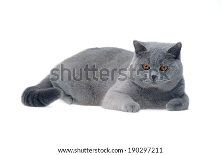 Young british cat isolated on white - stock photo