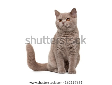Young british kitten on white background