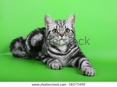 Young british short-haired cat on green background - stock photo