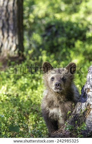 Young brown bear cub,watchful in the sunshine in a Finnish forest - stock photo
