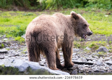 Young brown bear eating salmon at Russian River in Alaska