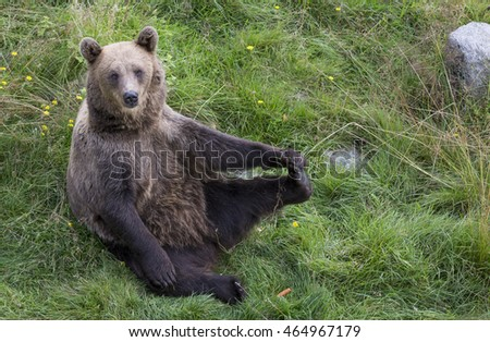 Young Brown bear in Ranua, Lapland, Finalnd