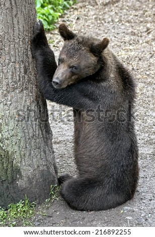 Young brown bear. Latin name - Ursus arctos arctos