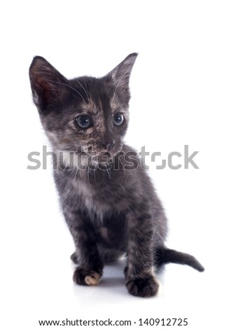 young brown calico  kitten in front of white background
