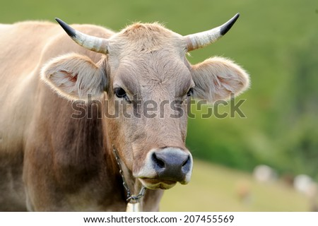 Young brown cow in summer meadow - stock photo