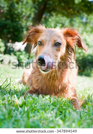 Young brown dog after the bath on the grass