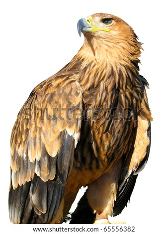 young brown eagle sitting on a support isolated over white background - stock photo