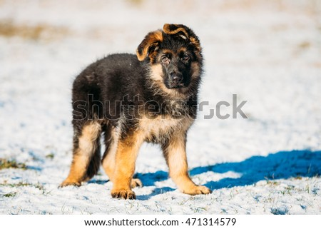 Young Brown German Shepherd Puppy Dog Outdoor At Winter Season