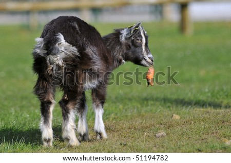 Young brown goat (Capra aegagrus) eating carrot on grass